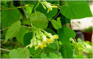 hoa thiên lý chữa bệnh trĩ